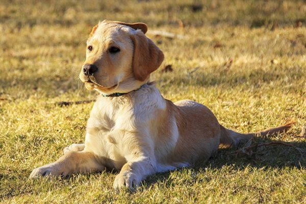 Vaccination of Dogs in Pflugerville, TX