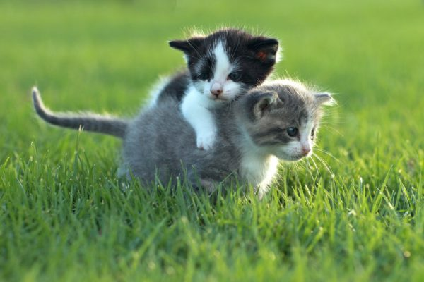 Vaccination of Cats in Pflugerville, TX